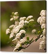 White Flower In The Tree Canvas Print