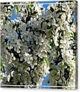 White Flowering Crabapple Tree Canvas Print