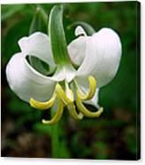 White Flowering Rose Trillium Canvas Print