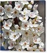 White Flowering Tree Flowers Canvas Print