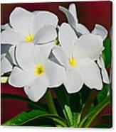 White Frangipani Canvas Print