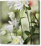 White Frilly Columbines Canvas Print