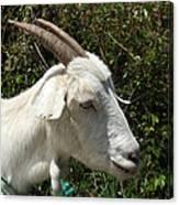 White Goat On A Farm Canvas Print