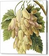 White Grapes Canvas Print