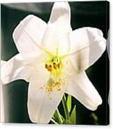 Easter Lily Up Close, Bermuda Canvas Print