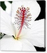 White Hibiscus Canvas Print