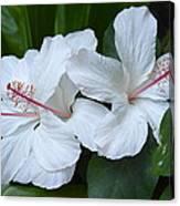White Hibiscus Trio Waikiki Canvas Print