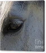 White Horse Canvas Print