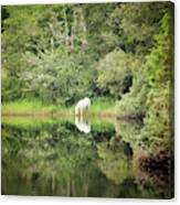 White Horse Drinking Water Canvas Print