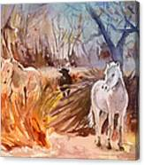 White Horses And Bull In The Camargue Canvas Print
