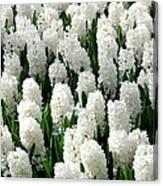 White Hyacinths Canvas Print