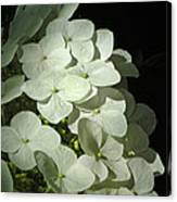 White Hydrangeas Canvas Print