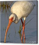 White Ibis In Grass Canvas Print