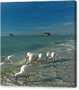 White Ibis Near Historic Naples Pier Canvas Print