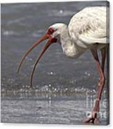 White Ibis On The Beach Canvas Print