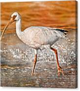White Ibis Stroll Canvas Print
