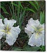 White Irises Canvas Print