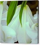 White Lily Bows  Canvas Print