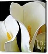 White Lily Trio Canvas Print