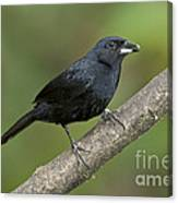 White-lined Tanager Canvas Print