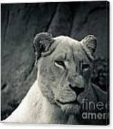 White Lioness Canvas Print