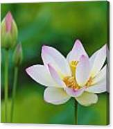 White Lotus Flower And Buds Canvas Print