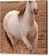 White Mare Approaches Number One Close Up Brighter Canvas Print