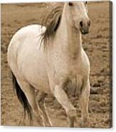 White Mare Approaches Number One Close Up Sepia Canvas Print