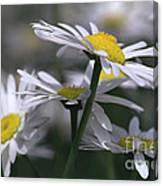 White Marguerite Canvas Print