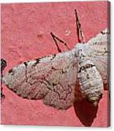 White Moth And Eggs Canvas Print