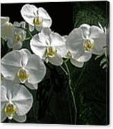White Moth Orchid Phalaenopsis And Ferns Canvas Print