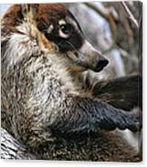 White-nosed Coati 3 Canvas Print