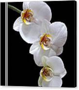 White Orchids On Black Vertical Canvas Print