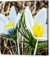 White Pasque Flower Canvas Print