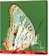 White Peacock Butterfly Anartia Canvas Print