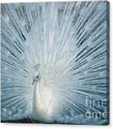 White Peacock. Canvas Print