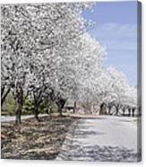 White Pear Trees Casting Shadows Canvas Print