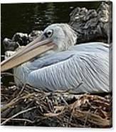 White Pelican 1 Canvas Print