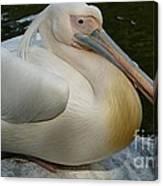 White Pelican Sitting Canvas Print