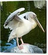 White Pelican Standing  Canvas Print