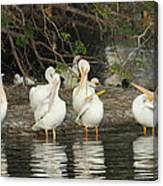 White Pelicans Grooming Canvas Print