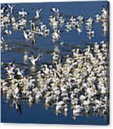 White Pelicans On Blue Canvas Print