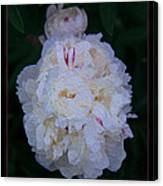 White Peony And Companion Abstract Flower Painting Canvas Print