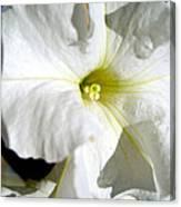 White Petunia Canvas Print