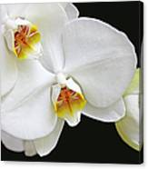 White Phalaenopsis Orchid Flowers Canvas Print