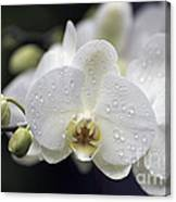 White Phalaenopsis With Water Drops 5797 Canvas Print