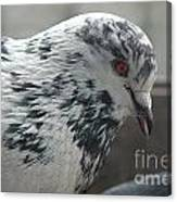 White Pigeon Canvas Print