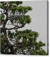 White Pine Bonsai Canvas Print