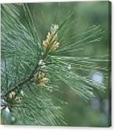 White Pine Flower N Spittle Bug Canvas Print