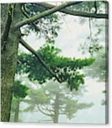 White Pine Trees, Wisconsin, Usa Canvas Print